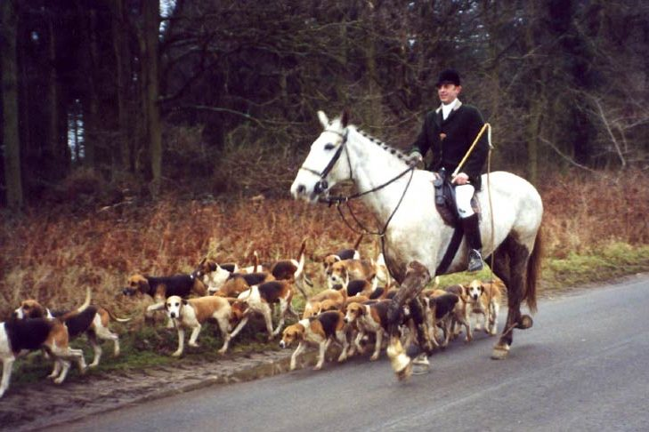 A hunting pack of Harriers walking next to an English horse and rider down a road