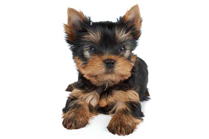 Yorkshire Terrier (Yorkie) Dog Breed Information
