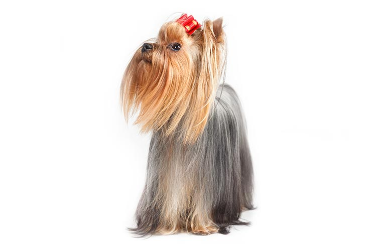 Yorkshire Terrier standing facing forward, head turned left.
