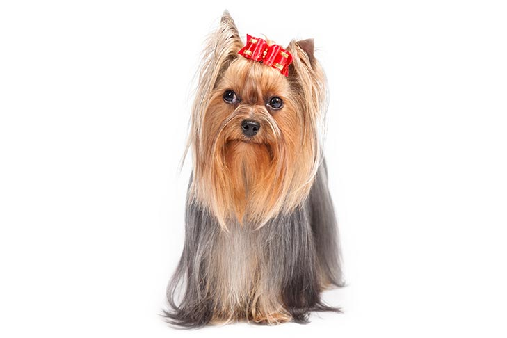 Yorkshire Terrier standing facing forward, eyes looking left.