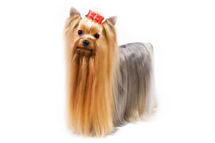 Yorkshire Terrier standing in three-quarter view.