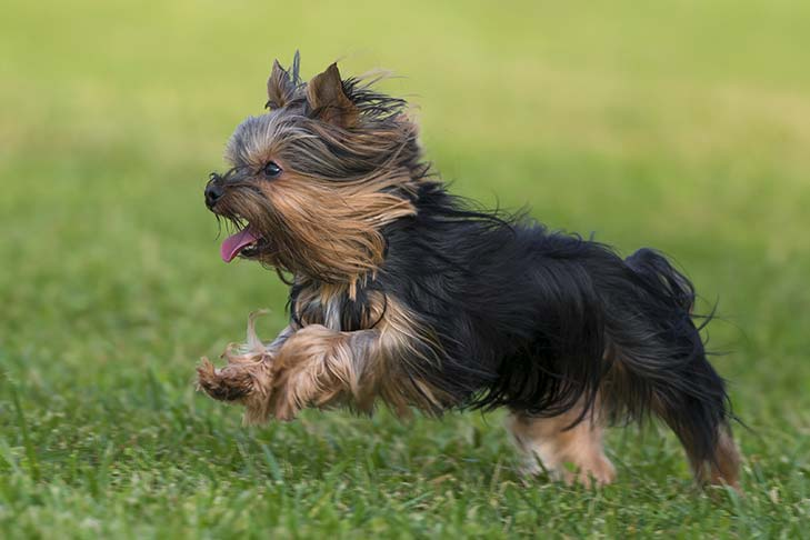 Yorkshire Terrier running in the grass.