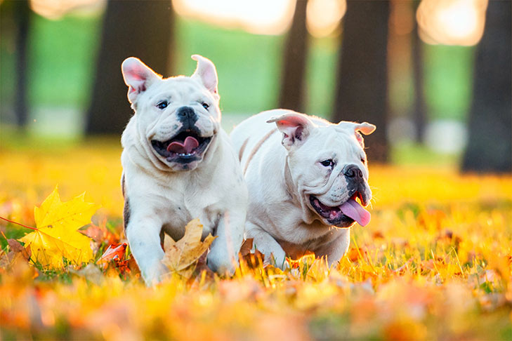 English Bulldog Dog Show