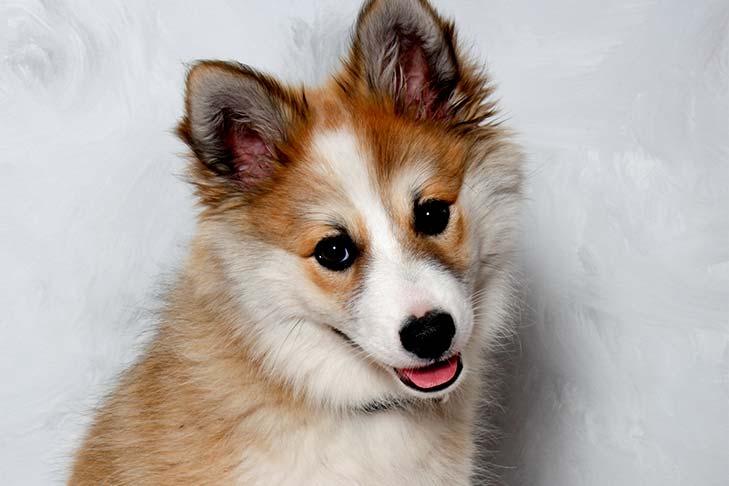 Norwegian Lundehund puppy
