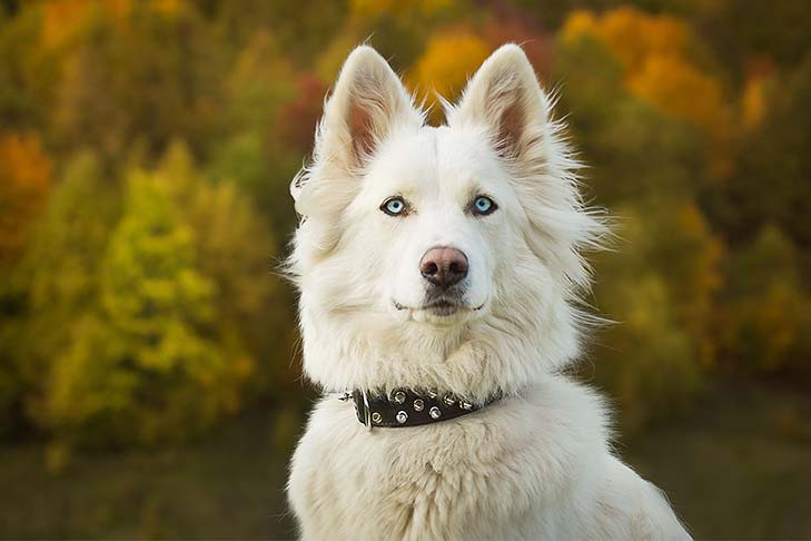 Yakutian Laika head and shoulders outdoors in the fall.
