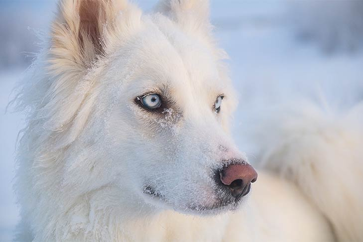 Close-up of a Yakutian Laika head in winter.