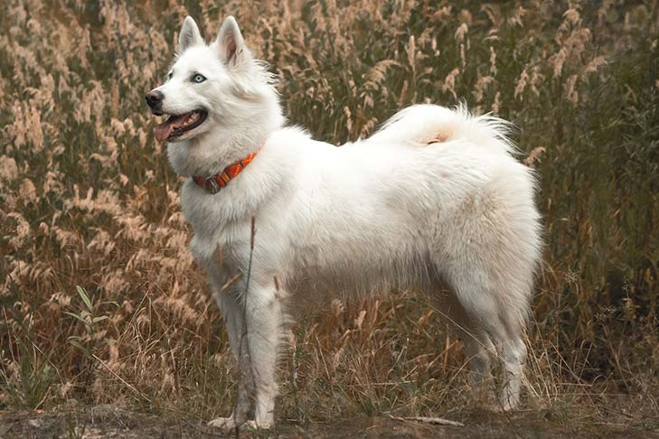 Yakutian Laika standing in a field of tall grasses.