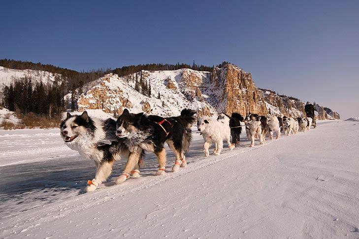 Yakutian Laikas pulling a sled.