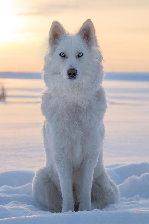 Yakutian Laika sitting outdoors in the snow.
