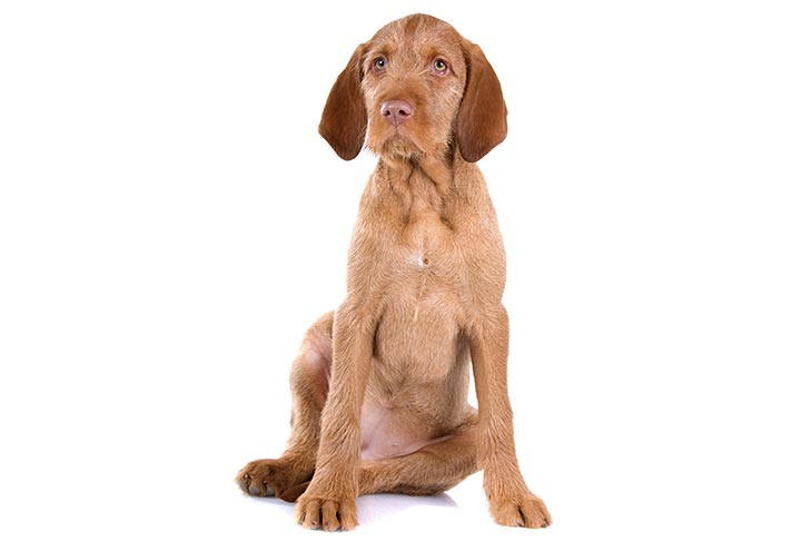 Wirehaired Vizsla puppy sitting on a white background.