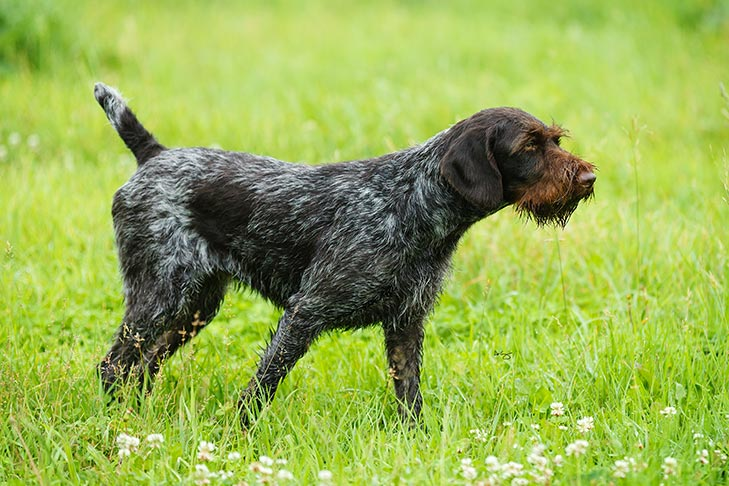 German Wirehaired Pointer Dog Breed Information