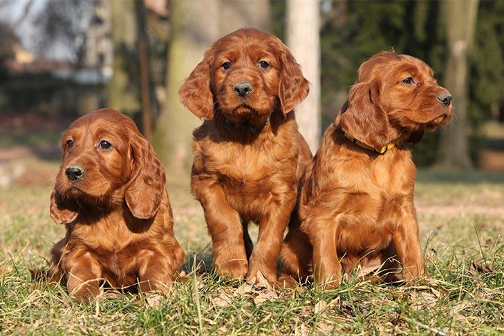 Irish Setter Puppies For Sale - AKC PuppyFinder