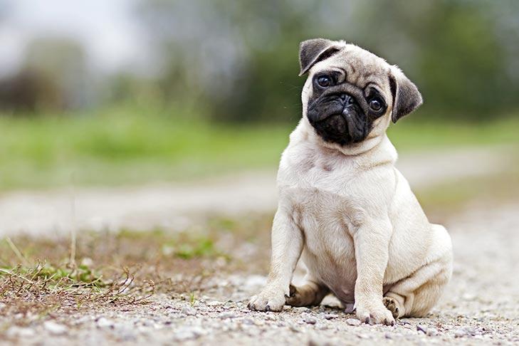 Pug Puppies For Sale Akc Puppyfinder