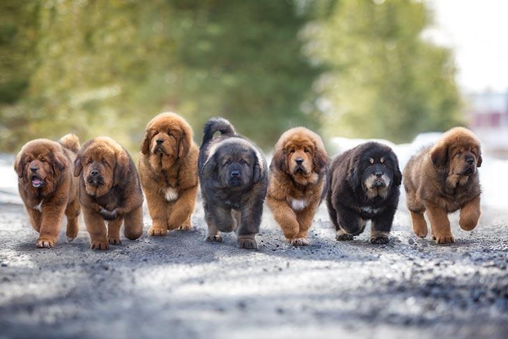 Tibetan Mastiff Puppies For Sale Akc Puppyfinder