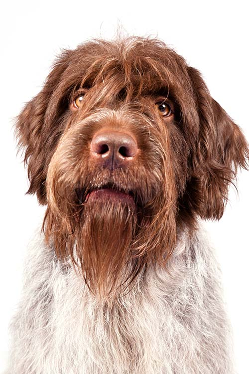 Wirehaired Pointing Griffon head portrait.