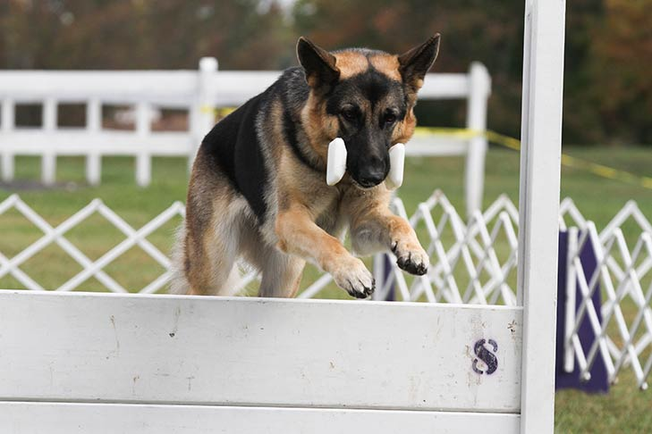 German Shepherd Dog navigating an obedience course.