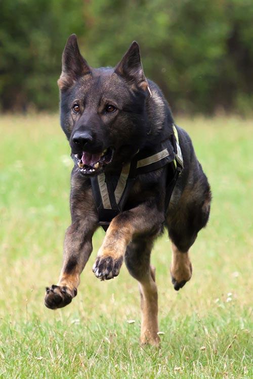 German Shepherd Dog wearing a police vest running through a field.