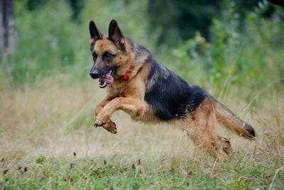 German Shepherd Dog Pictures American Kennel Club