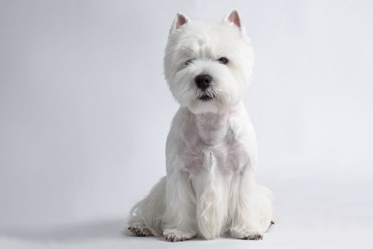 West Highland White Terrier sitting on a white background.