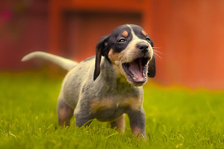 Bluetick Coonhound puppy yelping outdoors in the grass.
