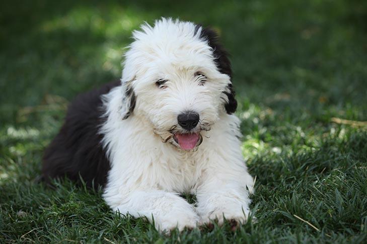 Old English Sheepdog Puppies For Sale Akc Puppyfinder