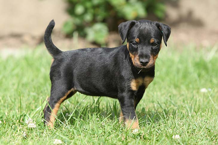 Jagdterrier Dog Breed Information - American Kennel Club