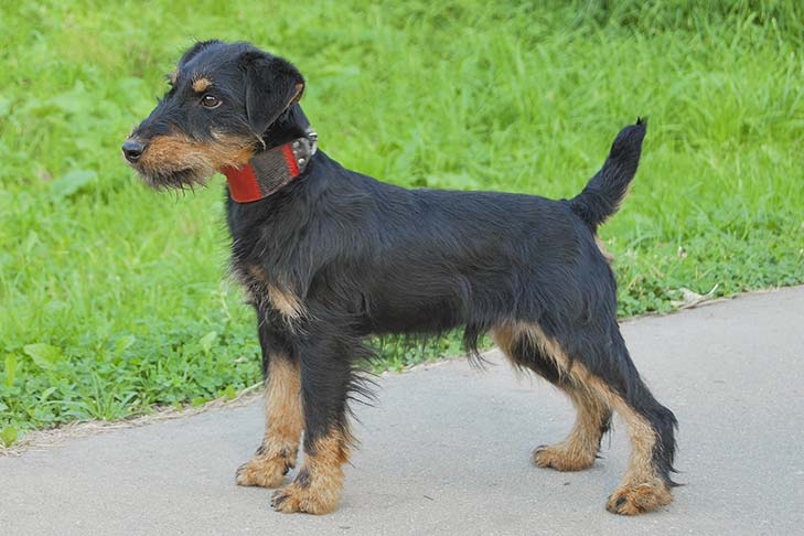 Jagdterrier Dog Breed Information American Kennel Club