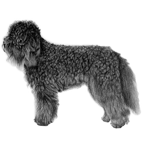 В профиль Барбет имеет слегка прямоугольную форму, массивную голову и длинный широкий хвост. У него длинный густой покров из кудрявых волос и характерная борода (французский барбе), что и дало название породе.