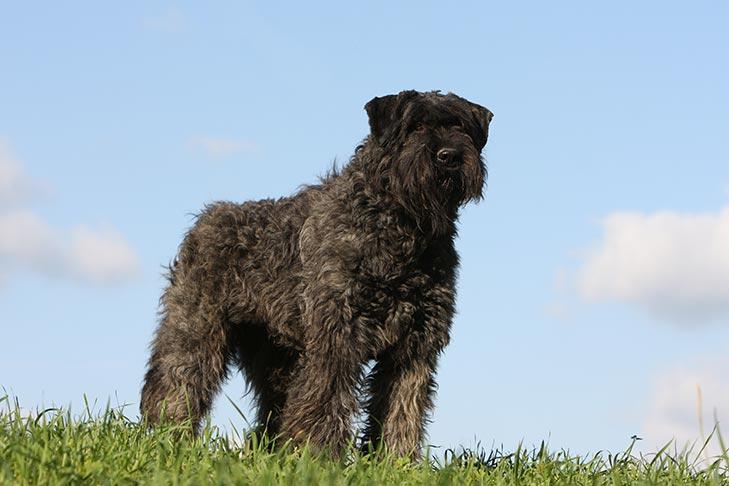 Bouviers des Flandres Dog cousin crew suit