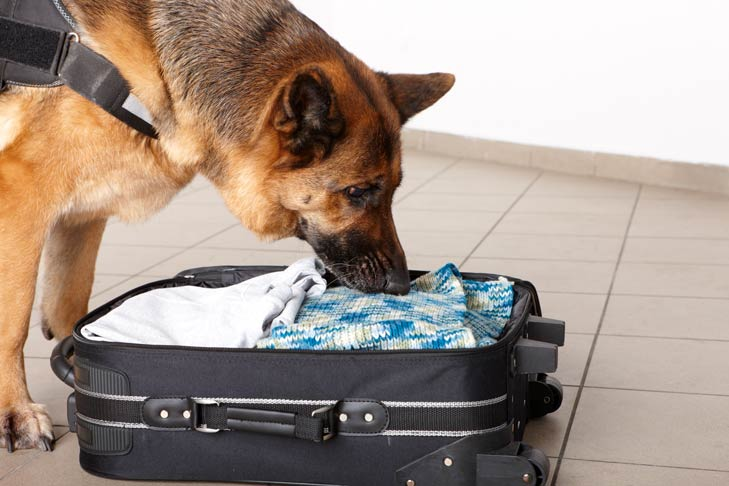 German Shepherd Detection Dog