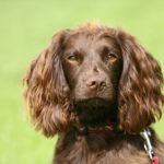Boykin Spaniel head portrait outdoors.