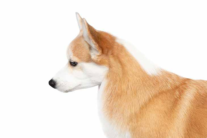Pembroke Welsh Corgi head and shoulders facing left.