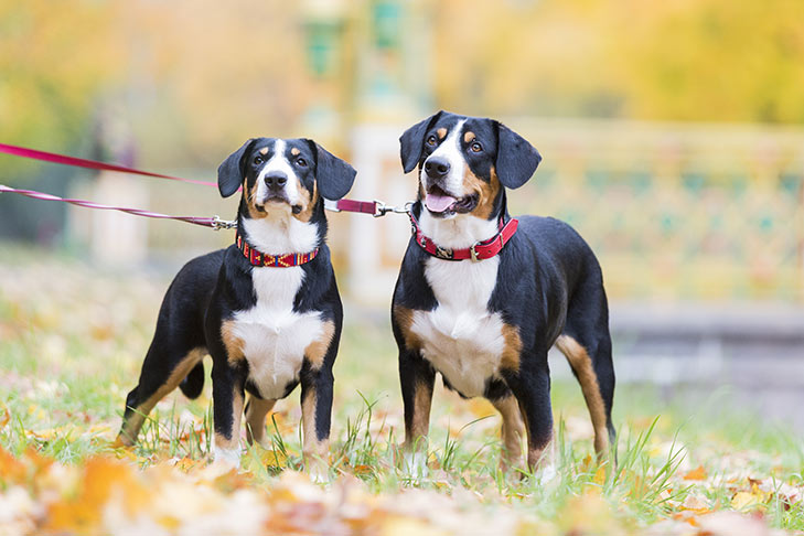 Two Entlebucher Mountain Dogs standing facing forward on leash