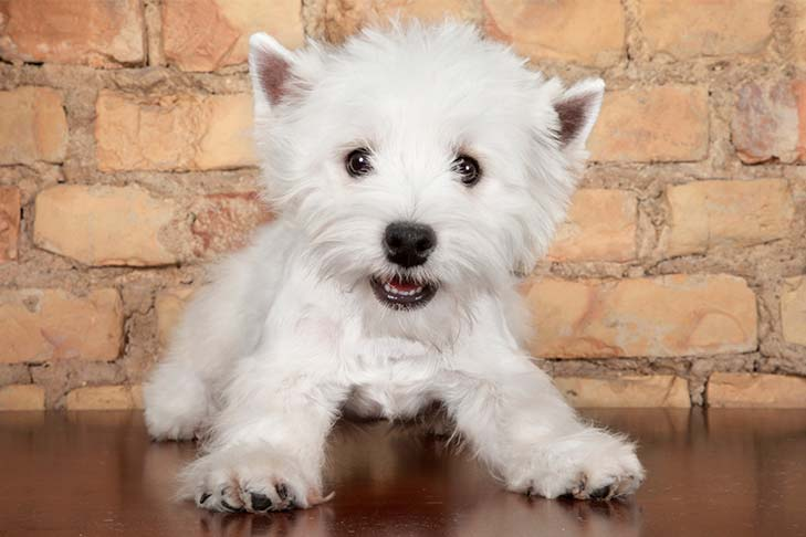West Highland White Terrier Westie Puppies For Sale Akc Puppyfinder