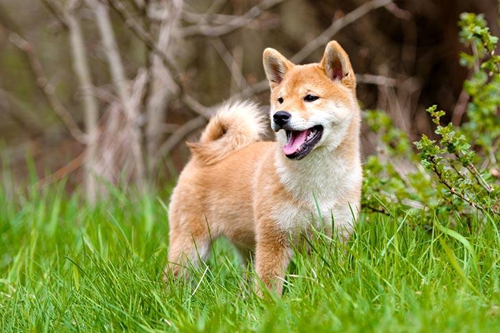 Shiba Inu puppy standing outdoors.