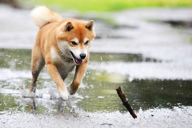 Shiba Inu fetching a stick outdoors.