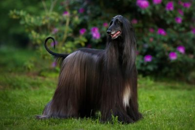 Largest Dog Breeds – American Kennel Club