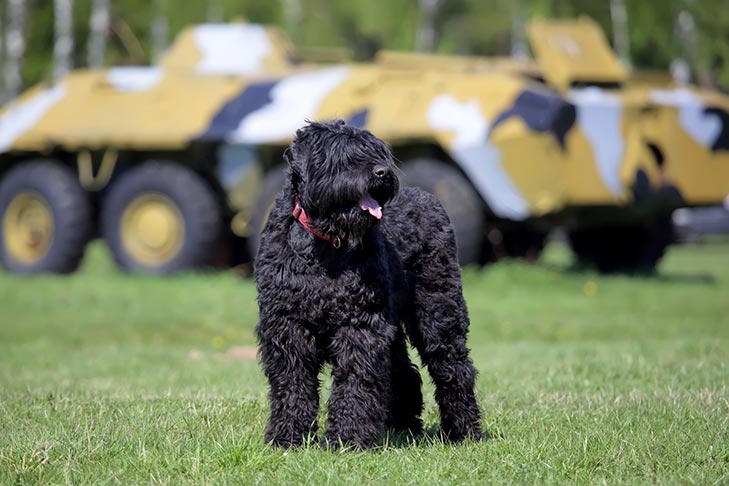 Black Russian Terrier standing outdoors near military vehicles.
