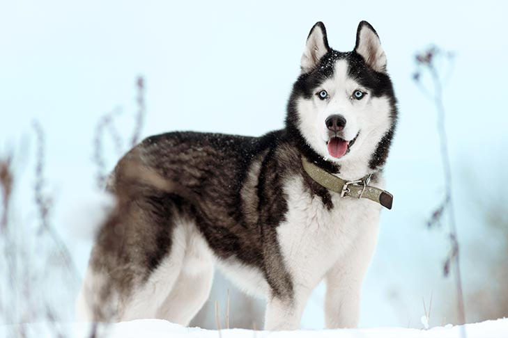 Siberian Husky Dog Breed Information I want to get an alaskan malamute as my first dog breed. siberian husky dog breed information