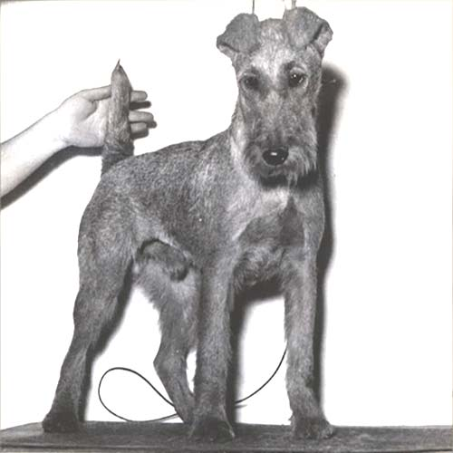 Irish Terrier History - from Tom Gately archive