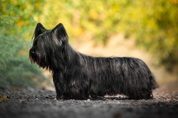 Skye Terrier Dog Breed Information
