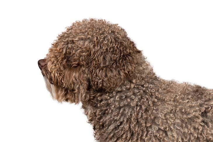 Spanish Water Dog head facing left.