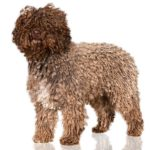Spanish Water Dog standing in three-quarter view.