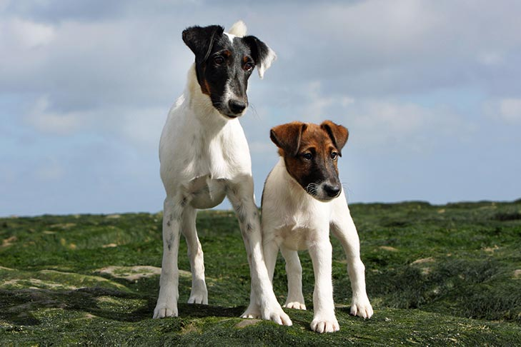 Smooth Fox Terrier standing outdoors with her puppy.