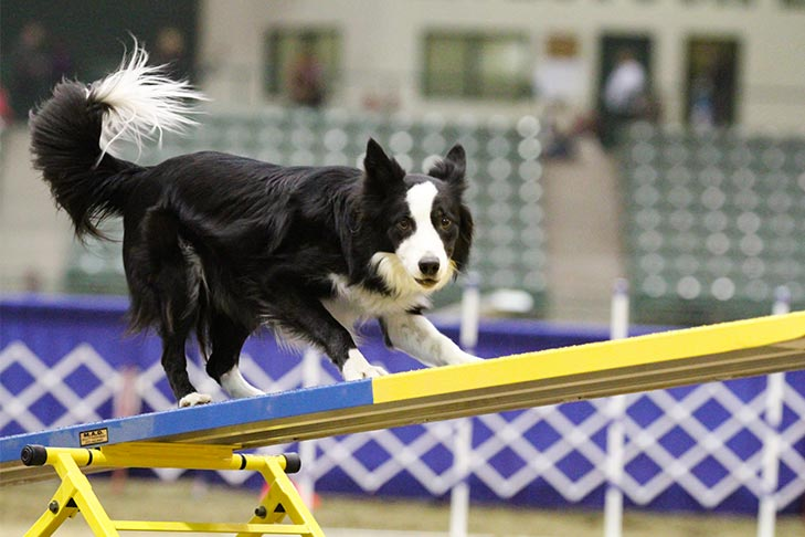 Border Collie on the seesaw in agility.