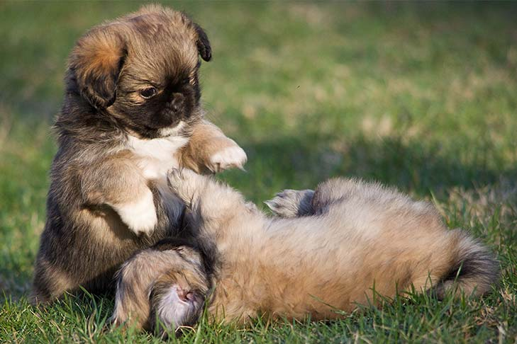 Two Tibetan Spaniel puppies playing in the grass.
