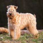 Soft Coated Wheaten Terrier standing in profile outdoors.