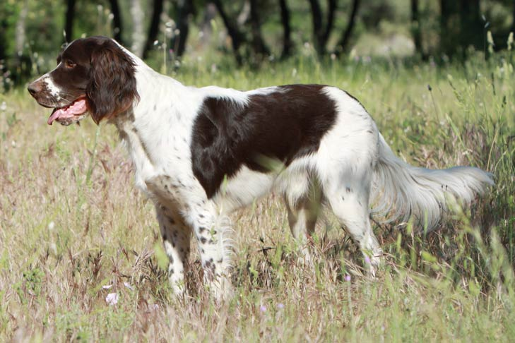 French Spaniel Dog Breed Information American Kennel Club