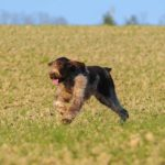 Spinone Italiano running in a field.