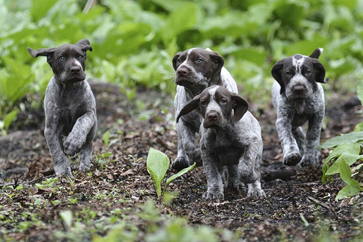 German Shorthaired Pointer puppies running outdoors.